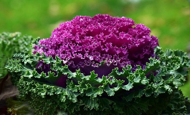 párolt lila káposzta